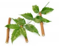 a neem leveléből és gyümölcséből készülnek az Ájurvédikus készítmények és az ágait meg fogmosásra használják az Ájurvédában...
